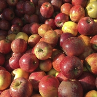 Apples | Culinary Holidays