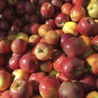 Apples | Culinary Holidays